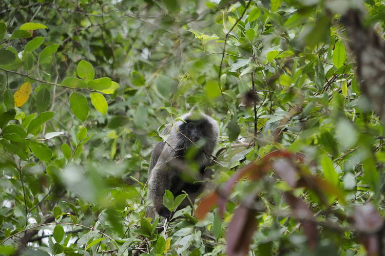 Trachypithecus cristatus Monkey Animal Forest Leaf Tree Green Primate Primates Wildlife Wildlife & Nature Trapped Spider Animal Themes Close-up Plant Green Color Wild Animal