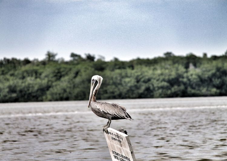 Side view of pelican on signboard in water