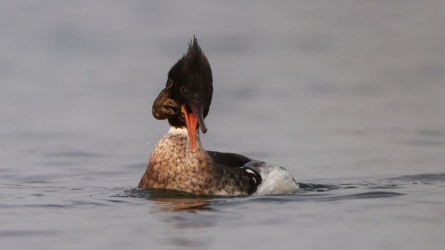 Duck swimming in a lake with shrimp
