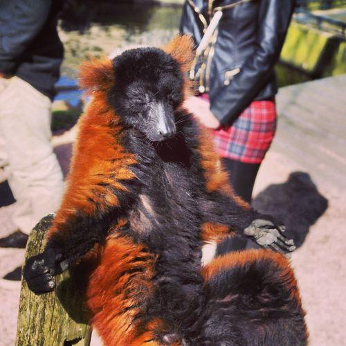 Lemur Sunbathing in Artis  Zoo