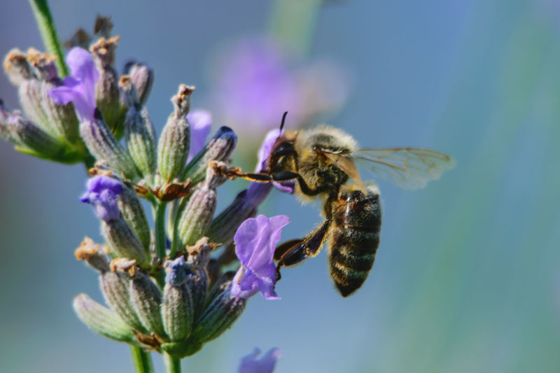 Biene auf Nektarsuche mit Kopf in Lavendelblüte Körperteile Biene Nahaufnahme Lavendelblüte Nektarsuche Flügel Flower Insect Bee Purple Close-up Animal Themes Blooming