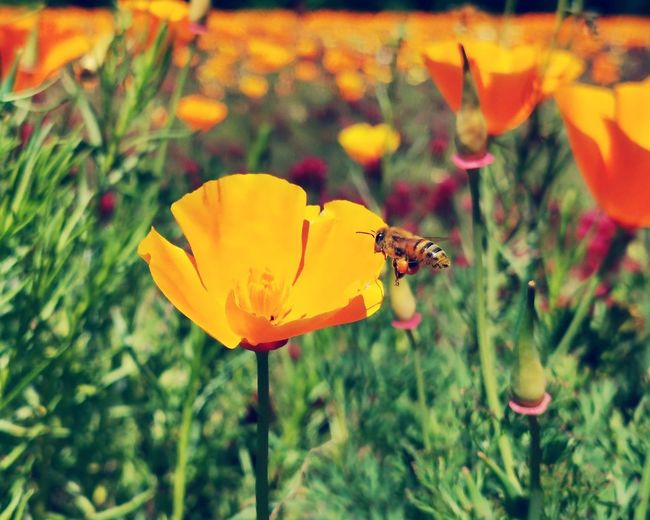 Bee like no others Bee P30pro Huaweiphotography Flower Head Flower Perching Leaf Butterfly - Insect Yellow Insect Petal Pollination Close-up Poppy In Bloom Blooming Blossom Cherry Blossom Wildflower Animal Wing