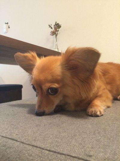 Dog Mixdog Chihuahua チワワ チワックス 犬