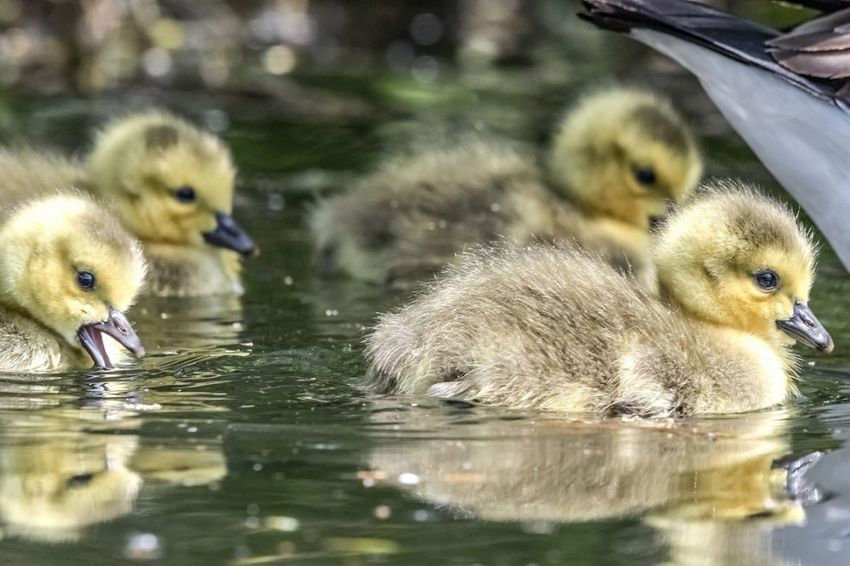 Dang mama, you never told us we were this cute Reflection Reflections Reflection_collection Reflections In The Water Cute Cuteness Cuteness Overload Bird Water Swimming Young Animal Duckling Gosling Young Bird Water Bird Togetherness Animal Family Chick Goose Canada Goose Beak