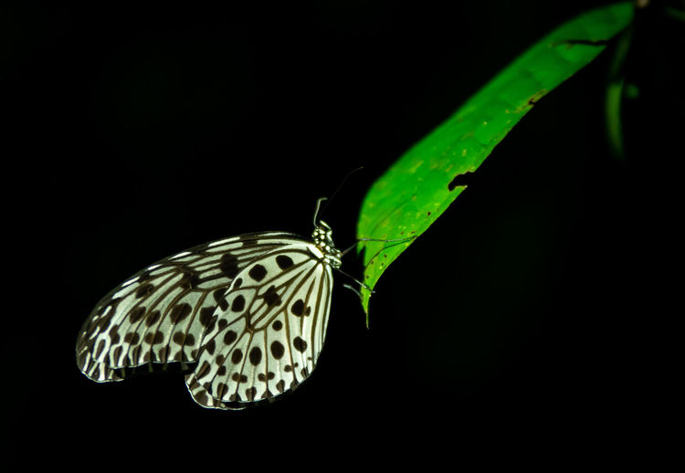 Close-up of butterfly on leaf against black background