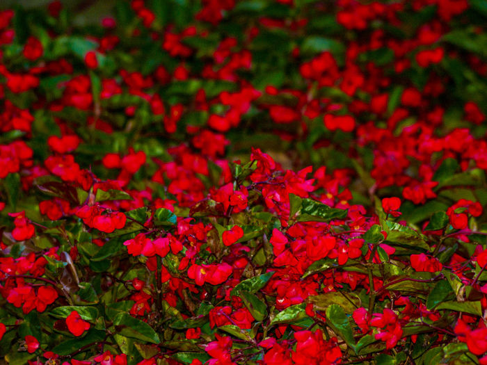 Flowers,Plants & Garden Love Red Passion Romantic Background Backgrounds Beauty In Nature Blooming Blossom Floral Flower Flower Head Flowers Freshness Garden Growth Love ♥ Nature Passion Pattern Red Red Flower Romanticism Spring Springtime