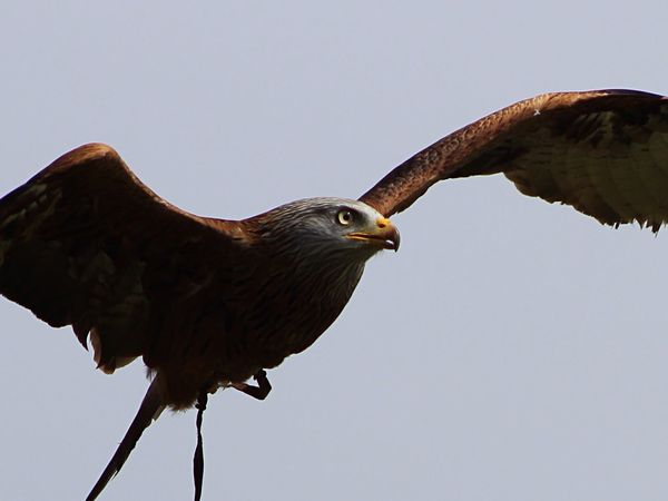 Red Kite In Flight Red Kite Stunning Nature Birds Beautiful Stonham Barns Suffolk United Kingdom Birds Of Prey