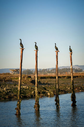 Beauty In Nature Bird Birds Birds Perched On Wooden Posts At Clear Sky Cormorant  Cormorant Bird Cormorant Birds Cormorants Elkhorn Slough Nature No People Parallel Parallel Lines Parallelism Perched Birds Sunset Symmetrical Symmetry Tranquil Scene Water Wildlife Wooden Post