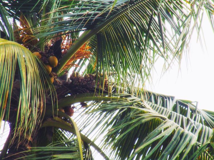 Tree Palm Tree Greenhouse Sky Coconut Palm Tree Tropical Tree Leaf Vein Indian Ocean