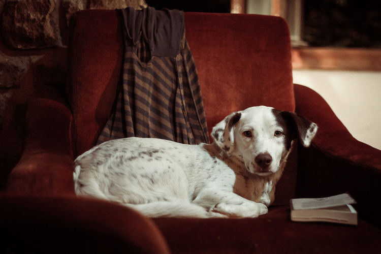 Close-up of dog relaxing on sofa at home