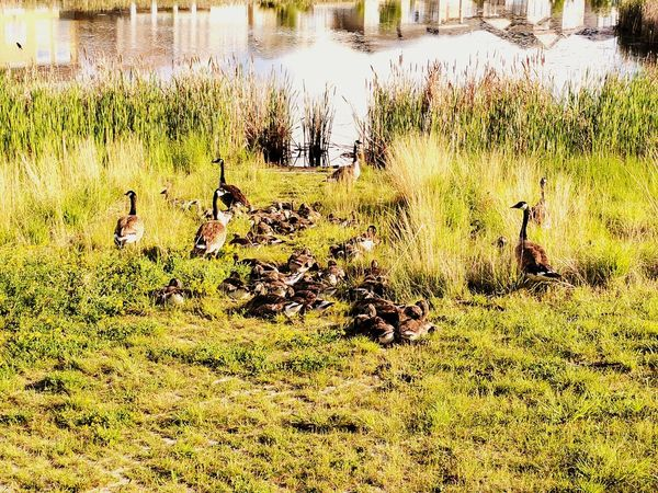 Water Nature Day Outdoors Grass Animal Themes Growth Field Real People Animals In The Wild Beauty In Nature Bird Gaggle Of Geese Geese Family Geese Canada Geese Canada Goose Google Pixel XL