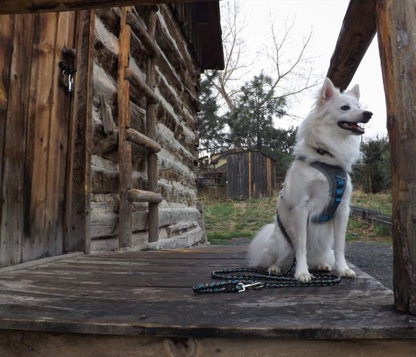 Golden, CO American Eskimo Animal Themes Colorado Day Dog Domestic Animals Mammal No People One Animal Outdoors Pets Tree Wood - Material Wooden House Wood House Dogs Of EyeEm