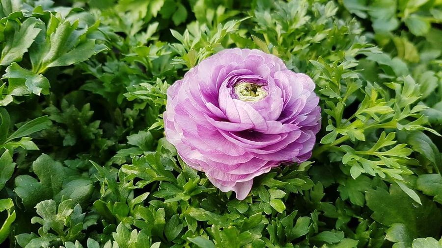 Flower Purple Pink Color Plant Growth Leaf Green Color Flower Head Beauty In Nature Petal Nature Freshness Fragility Close-up Outdoors No People Day Ranunculuses Ranunculus Flower Ranunculus Bouquet Ranunculus