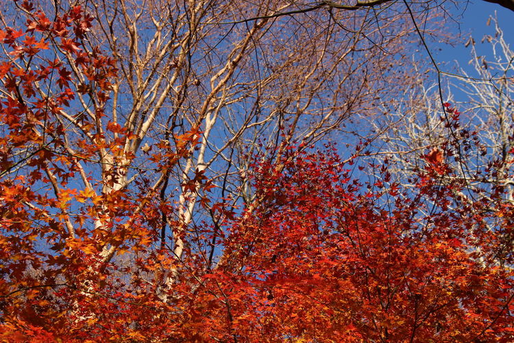 Hakone Autumn Tree Sky Beauty In Nature Orange Color Nature Fall Natural Condition Japan