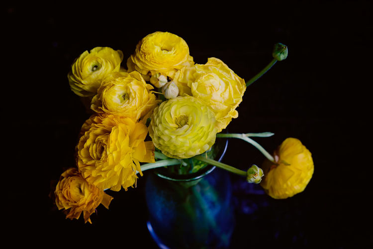 Close-up of yellow ranunculas against black background