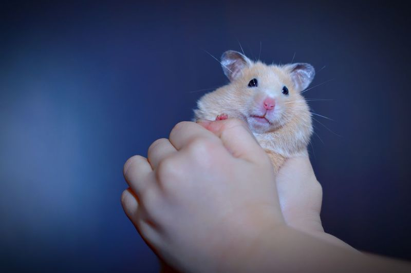 Midsection of person holding hand wits hamster against black background