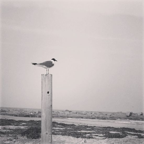 Black And White Seagull Seascape Nature_collection