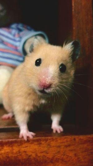 Hamster Hamster Love My Hamster Home Hamster ♡