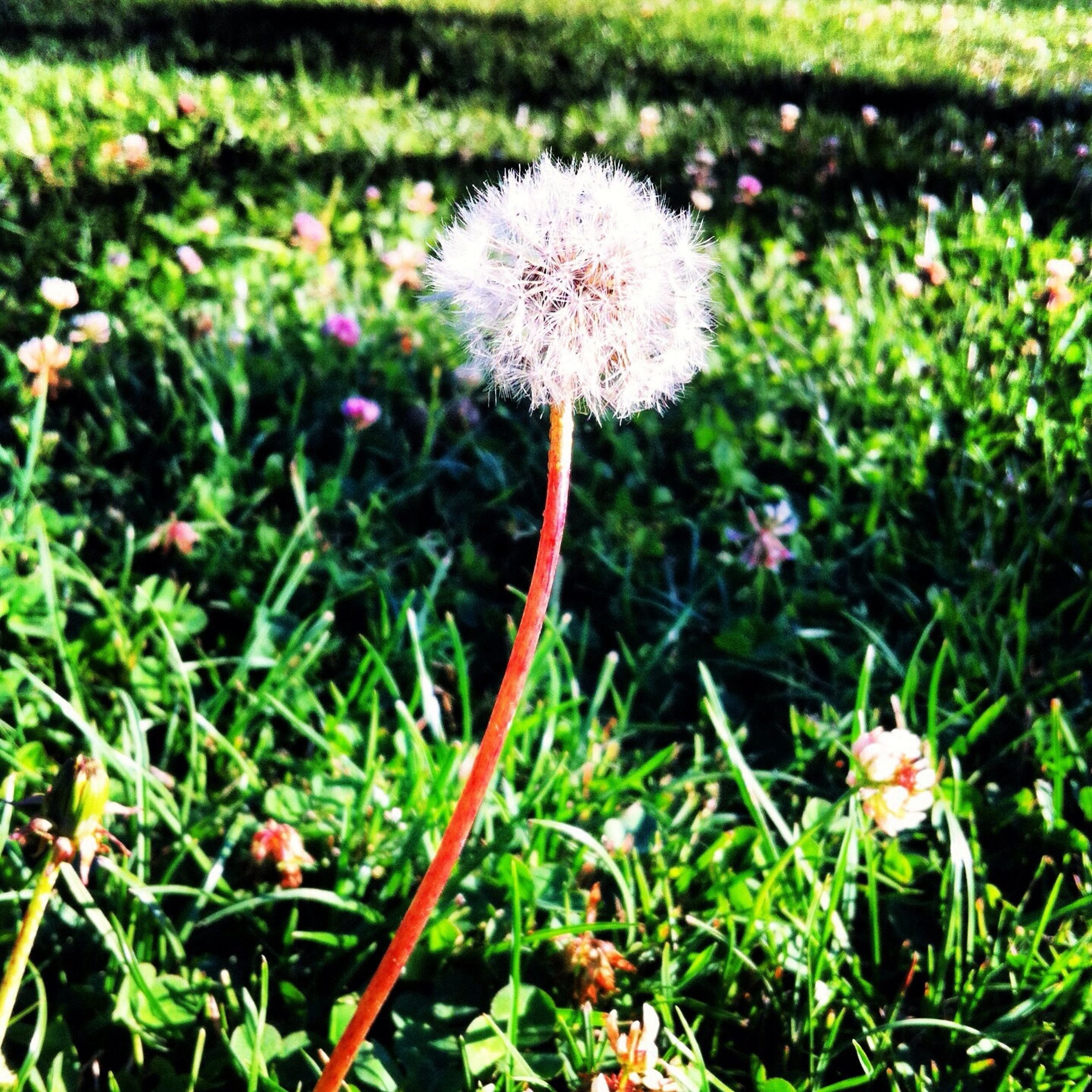 flower, growth, freshness, fragility, dandelion, flower head, beauty in nature, plant, nature, field, stem, wildflower, blooming, focus on foreground, petal, uncultivated, grass, in bloom, green color, close-up