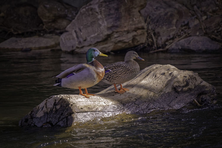 Mallard male and female ducks enjoying the sunset on a submerged log. Animal Themes Animals In The Wild Bird Birds Colorful Day Ducks Female Male Male And Female Mallard Duck Nature No People Stream The Great Outdoors - 2017 EyeEm Awards Water Waterfowl