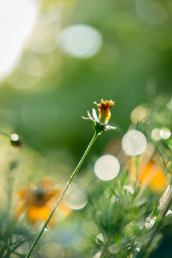 After The Rain Aging Process Beauty In Nature Bokeh Close-up Day Dew Flower Flower Head Flower Heads Flower Stem Freshness Nature No People Outdoors Plant Plant Rainy Rainy Days Sunny Water Wet Wildflower Wilted Flower