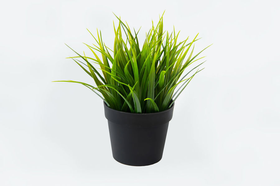 Green grass in a black flower pot isolated on white background Botany Decoration Interior Agriculture Beauty In Nature Blossom Curve Decoration Environment Environment, Freshness Gardening Green Green Color Growth Houseplant Nature Object Plant Potted Plant White Background