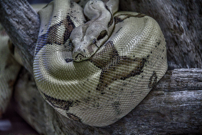 Animal Themes Boa Constrictor Close-up Maximum Closeness One Animal Reptile Snake Pet Portraits