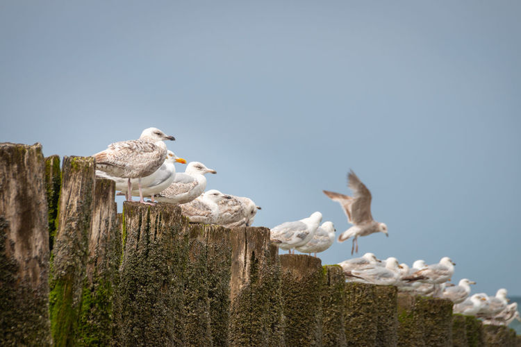 Seagulls perching on wooden post in sea against clear sky