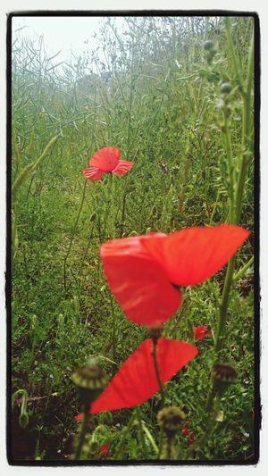 Popies , Nature . Look for hidden beauties wherever you go.