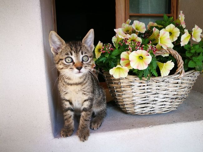 Domestic Cat Pets Basket Domestic Animals Flower Portrait Animal Themes Looking At Camera Day No People Mammal One Animal Indoors  Sitting Feline Close-up