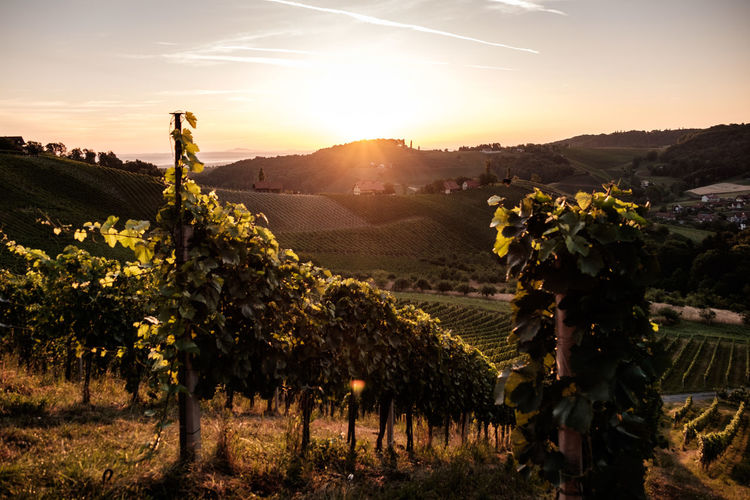 Austria / South Styrian Wine Road (Südsteirische Weinstrasse) Austria Farmland Green Hills Vineyards  Agriculture Beauty In Nature Grape Grapes Grapevines  Growth Landscape Lush Nature No People Outdoors Rural Scene Summer Sunlight Sunset Vine - Plant Vineyard Wine Winemaking Winetasting