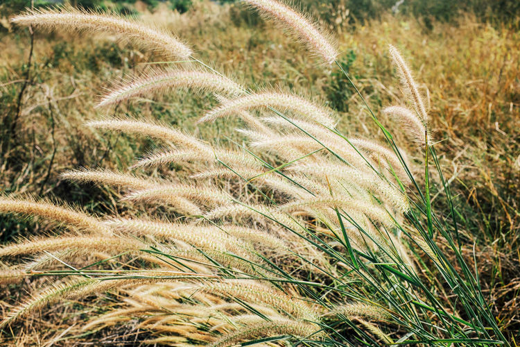 beautiful yellow grass Agriculture Beauty In Nature Cereal Plant Close-up Crop  Day Ear Of Wheat Field Grass Growth Nature No People Outdoors Plant Rural Scene Scenics Timothy Grass Tranquility Wheat