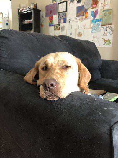 Close-up portrait of dog resting on sofa at home