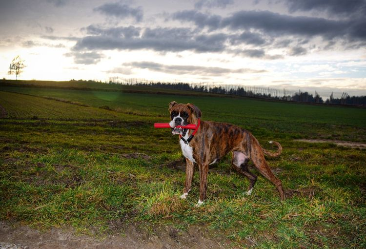 Portrait of dog carrying toy in mouth while standing on field