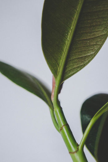 Close-up Beauty In Nature Close-up Day Fiction Ficuselastica Freshness Green Green Color Greenery Growth Houseplant Leaf M Macro Macro Photography Minimal Nature No People Outdoors Plant Pot Rubberplantation Sophisticated White Background EyeEmNewHere