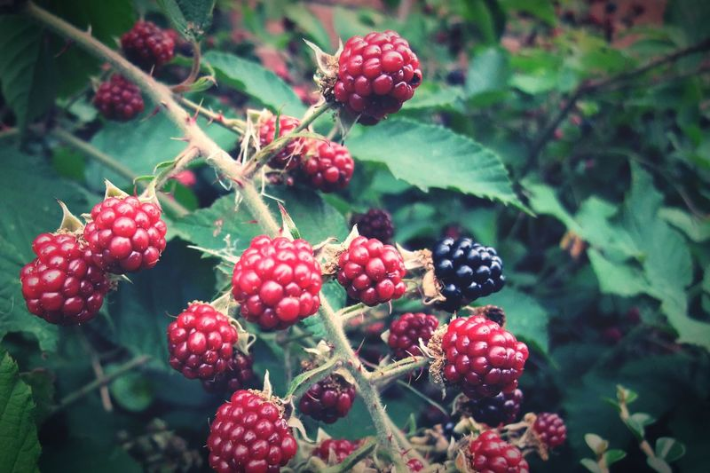 Branch of blackberry with ripping berries