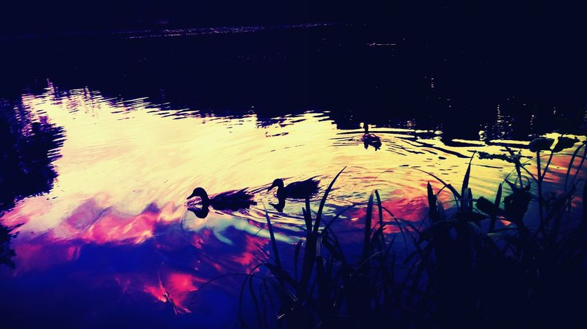POZNAŃ , DĘBINA Duck Photography Outdoors Nature No People Water Sky Ducks In Water Animals Waterbirds Beautiful Nature Sunset EyeEmNewHere The Great Outdoors - 2017 EyeEm Awards Sommergefühle