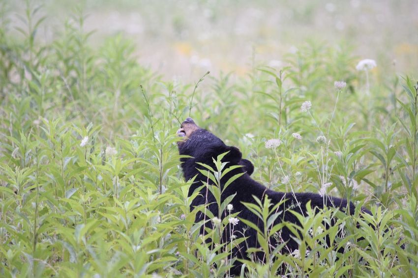 Animal Themes One Animal Grass Animals In The Wild Green Color Plant No People Nature Day Outdoors Growth Animal Wildlife Mammal Cades Cove Cades Cove, Tennessee Black Bear Animals In The Wild