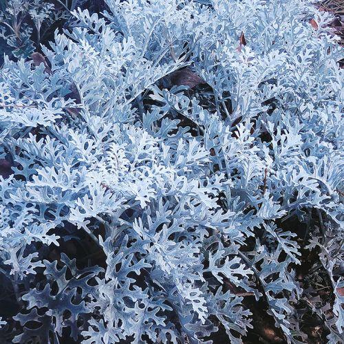 I found the plant of a pretty leaf...Whiteness chrysanthemum? White Leafs Chrysanthemum