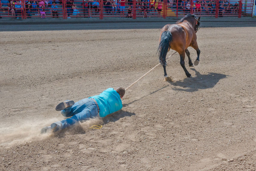 Williams Lake, British Columbia/Canada - July 2, 2016: cowboy holding onto rope is dragged through dirt while trying to catch a horse during the Wild Horse Race at the 90th Williams Lake Stampede 90th Williams Lake Stampede Arena British Columbia, Canada Cariboo Chilcotin Cowboy Man Rodeo Rope Wild Horse Race Annual Event Audience Competition Country Western Danger Dirt Documentary Dragged Dust Editorial  Extreme Sports Horse RISK Stampede Unbroken Horse Wild Horse