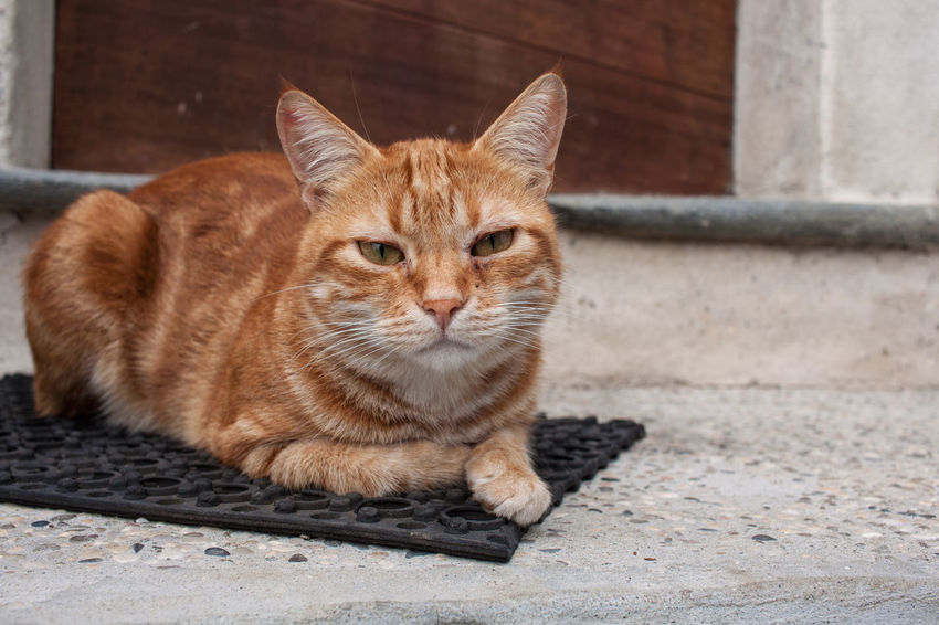 Animal Themes Close-up Day Domestic Animals Domestic Cat Feline Ginger Cat Looking At Camera Mammal No People One Animal Outdoors Pets Portrait Sitting