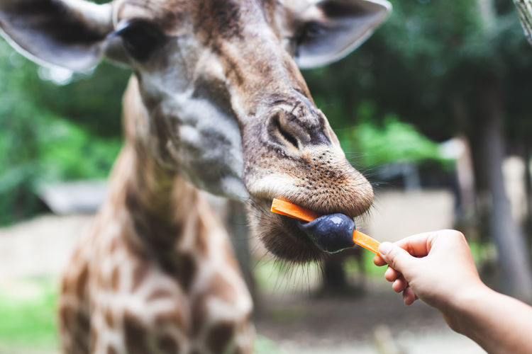 Cropped hand of woman feeding giraffe