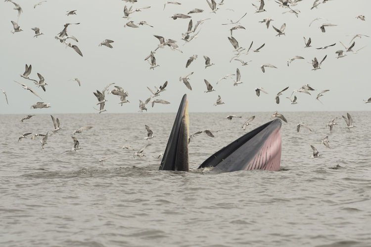 Bryde whale with flock of birds in sea against sky