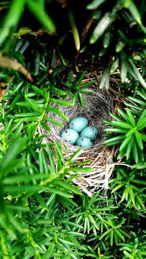 Garretson Sparrow Eggs Sparrownest Birds Nest Birds Lover