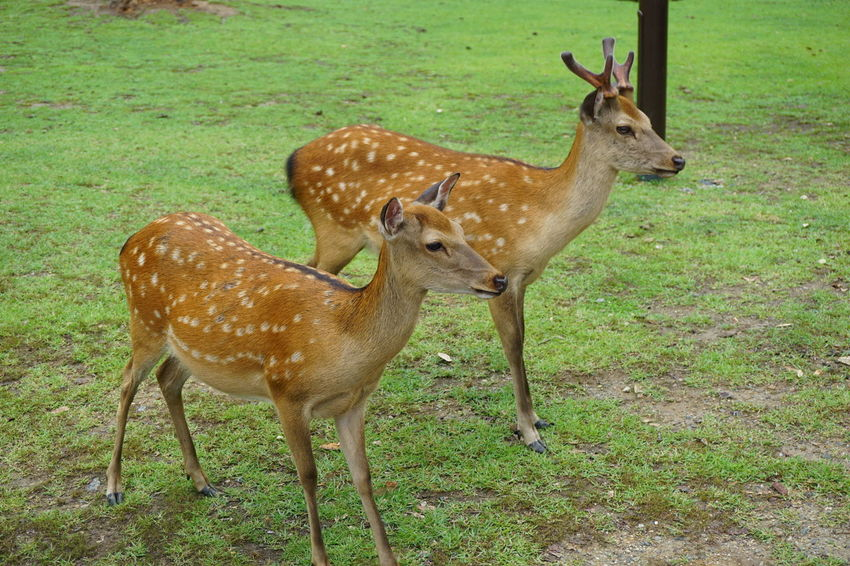 Animal Themes Animal Wildlife Animals In The Wild Deer Deers Field Grass Mammal Nature No People Outdoors