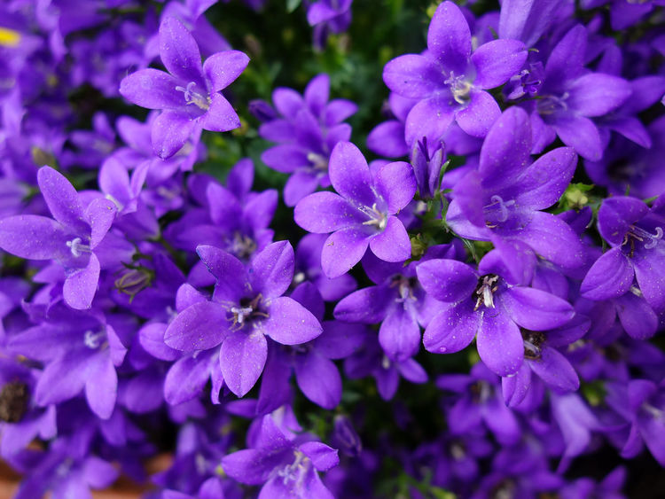 Up for springtime Beauty In Nature Blooming Blue Bunch Of Flowers Close Up Close-up Day Flower Flower Head Flowering Plant Focus On Foreground Fragility Freshness Growth Inflorescence Lilac Nature No People Outdoors Park Petal Plant Purple Springtime Vulnerability
