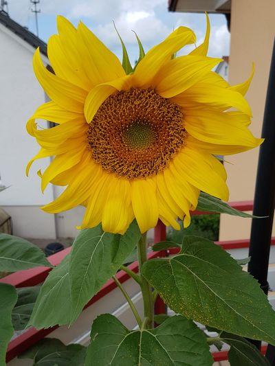 Darrens Sunflower