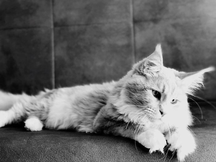 A-mici Buy Like Follow4follow Mainecoon EyeEm Selects Domestic Cat Cat Pets Domestic Feline Mammal No People