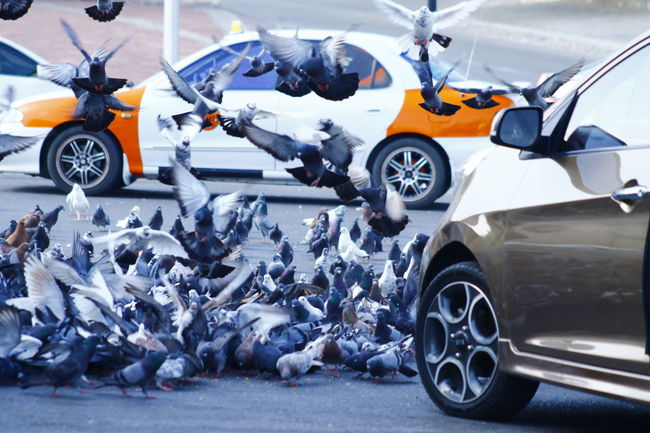 Animal Themes Car Day Land Vehicle Mode Of Transport No People Outdoors Pigeons Everywhere Pigeons On The Road Road Stationary Sudden B Transportation