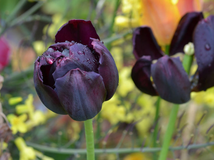 Beauty In Nature Black Tulips Blooming Close-up Dark Red  Day Flower Flower Head Fragility Freshness Growth Nature No People Outdoors Petal Plant Raindrops On Flower Raindrops On Flowers Tulips